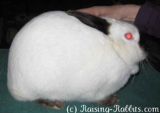 All rabbit breeds - Californian Rabbit