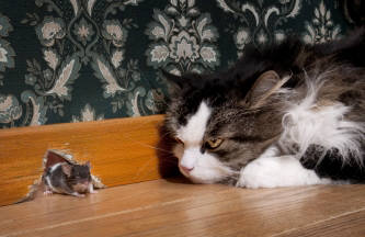Cat stalks mouse