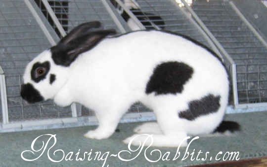 All rabbit breeds - Checkered Giant Rabbit
