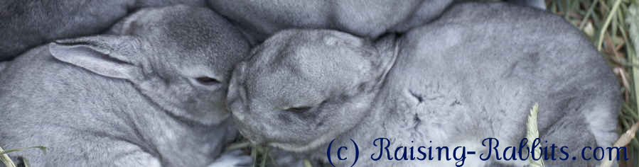 Chinchilla Rex bunnies