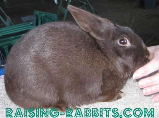 B-Locus Rabbit Colors - Chocolate Havana rabbit