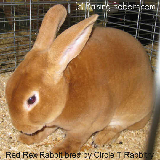 Red Rex rabbit bred by Circle T Rabbitry