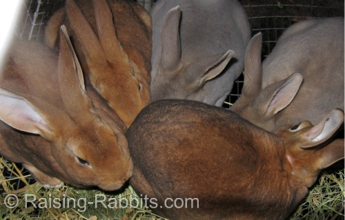 Colorful castor and opal rex rabbit youngsters
