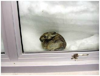 Cottontail rabbit burrowed in snowdrift by window