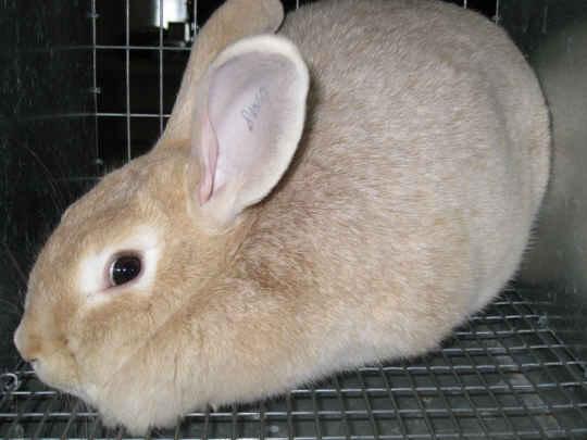 Meat rabbits - Creme d'Argent