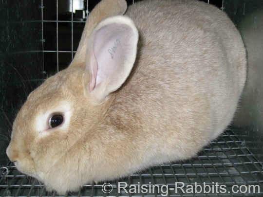 All rabbit breeds - Creme d'Argent Rabbit
