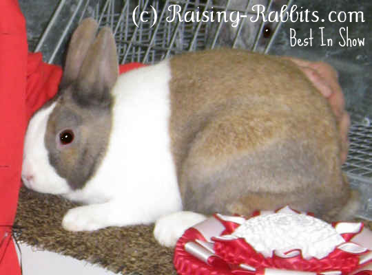 Dutch Rabbit BIS, tort variety