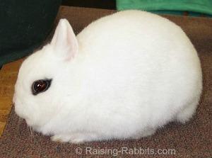 Dwarf Hotot, small rabbit breed