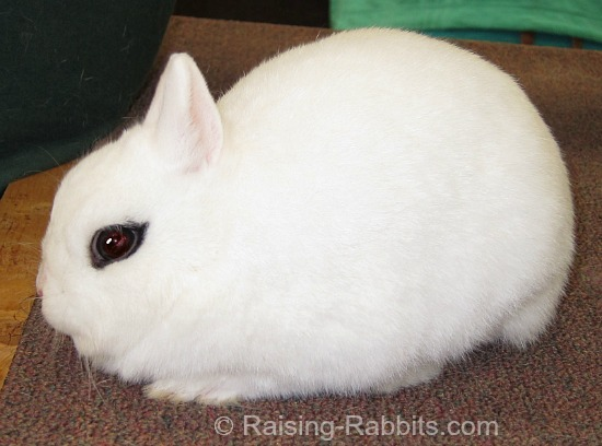 All rabbit breeds - Dwarf Hotot Rabbit