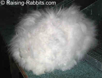 English Angora Rabbit covered in wool from stem to stern
