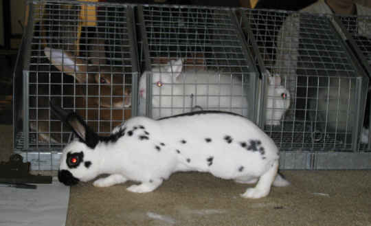 English Spot Best of Breed rabbit