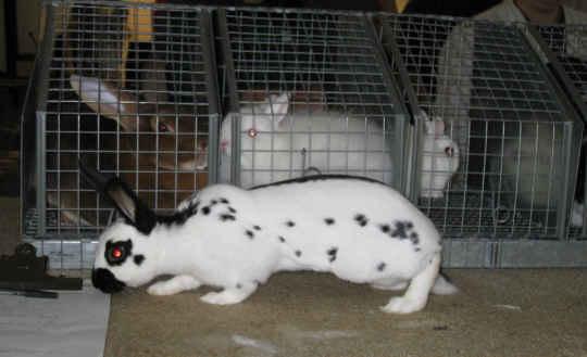 English Spot Best of Breed rabbit
