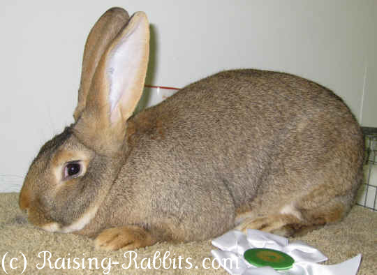 flemish giant rabbits continental giant rabbits and more