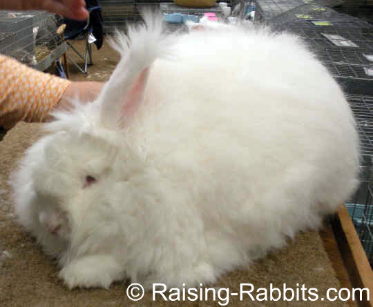 Giant Angora Rabbit, which is nearly identical in appearance to the German Angora, other than size