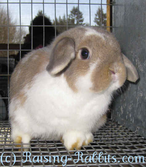 All rabbit breeds - Holland Lop Rabbit
