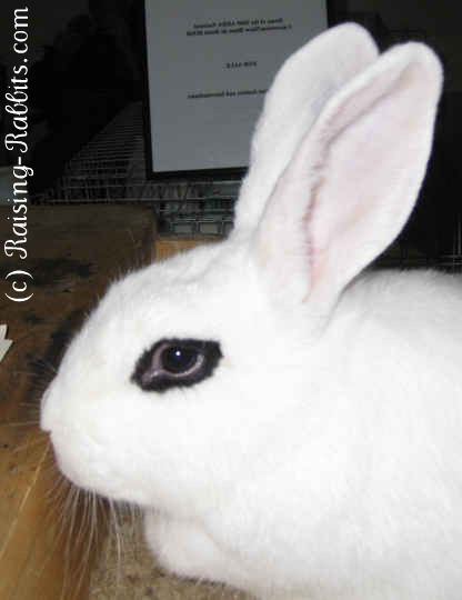 Full size Blanc de Hotot rabbit