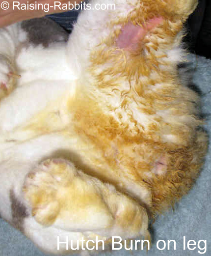 A moderate case of hutch burn on one leg. The fur has fallen out and the skin is reddened.