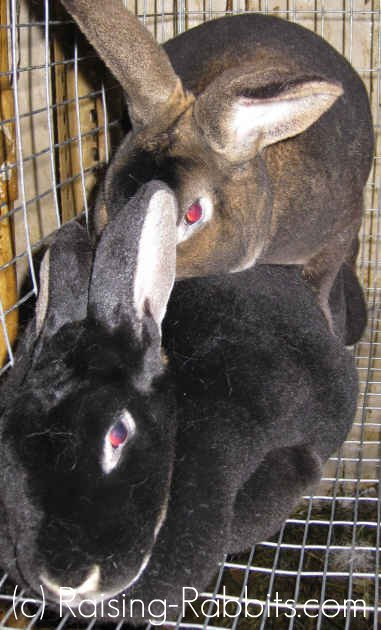 Buck and doe rabbit in the act of mating