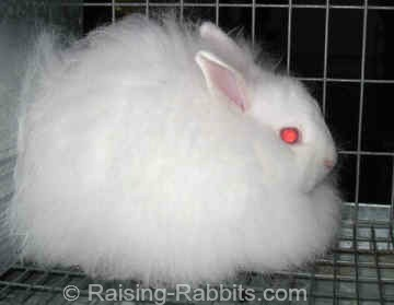 A very fine red-eyed white Jersey Wooly rabbit