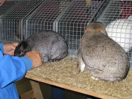 Rabbit judge compares 2 mini-lop rabbits