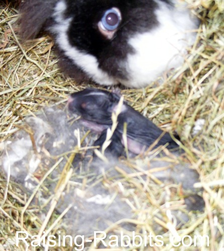 Lionhead mum with her kits
