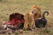 Lions eating cape buffalo