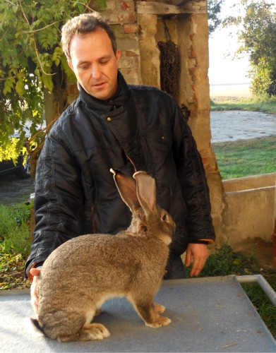 Italian Flemish Giant Rabbit with breeder