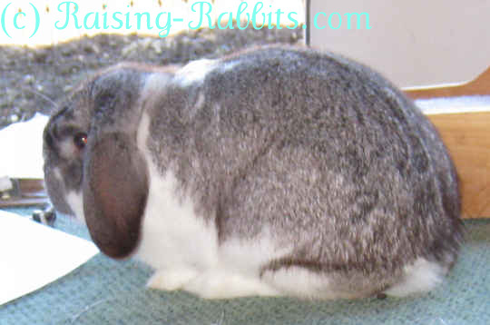 Mini Lop Rabbit Breed