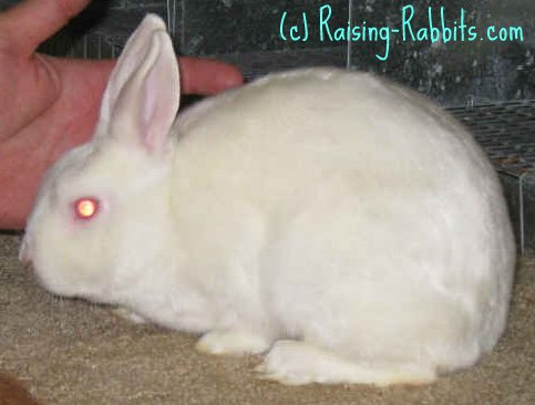 Different kinds of rabbits - mini satin - satin fur