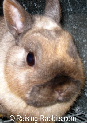 Siamese Sable Netherland Dwarf Show Rabbit