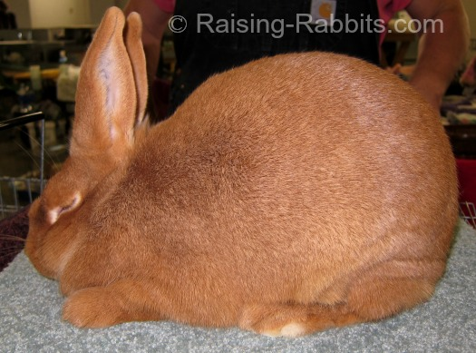 New Zealand Red show rabbit in the USA