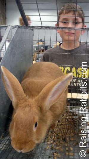 New Zealand Red rabbit and its youth exhibitor at a local ARBA rabbit show