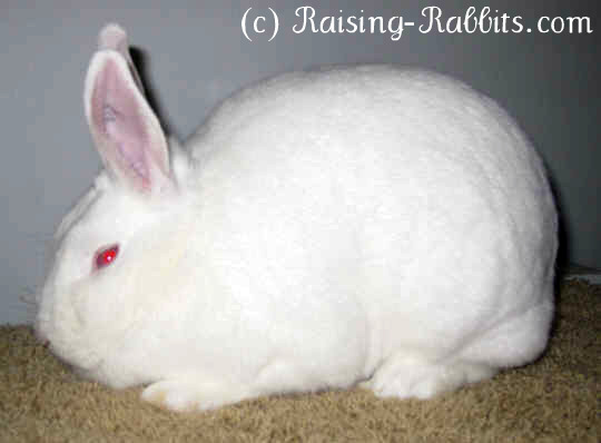 New Zealand White Rabbit Lessons Tes Teach