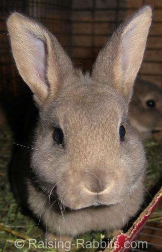 Opal Rex Bunny Rabbit