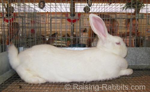 New Zealand Rabbit Exhibit at a County Fair