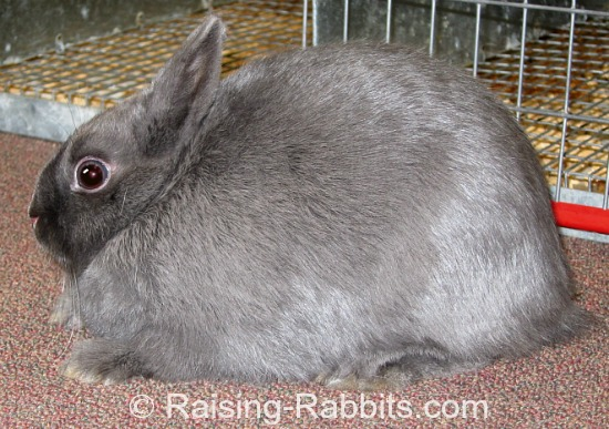 Blue Polish Rabbit