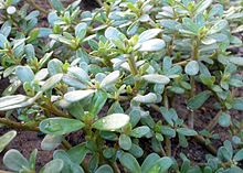 Common Purselane is edible and nutritious (Portulaca oleracea is an annual succulent in the family Portulacaceae, which may reach 40 cm in height.)