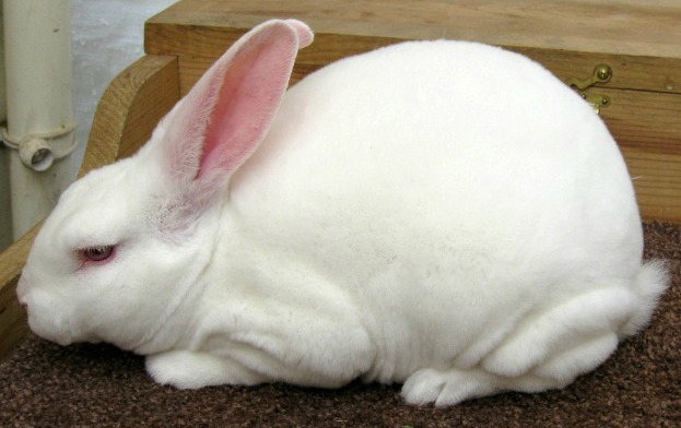 Red-Eyed-White Rex Rabbit