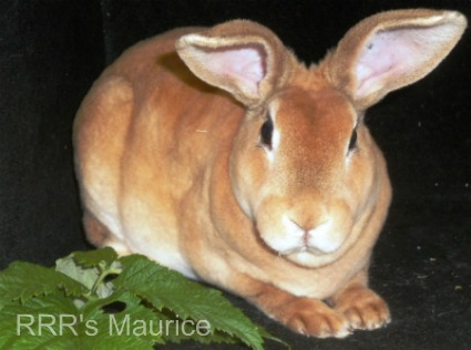 Maurice, an Amber Rex Rabbit belonging to Caroline from California