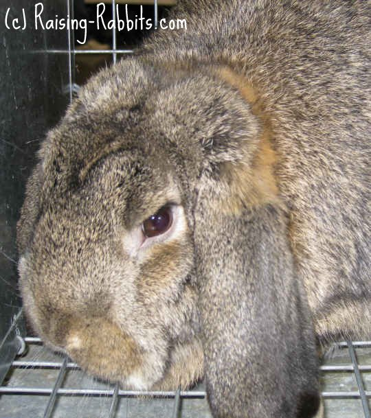 Rabbit Genetics Agouti Color