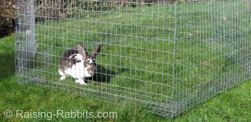 Heart break if your favorite pet rabbit should suddenly die of rabbit hemorrhagic disease