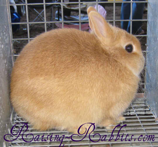 Orange Netherland Dwarf Rabbit