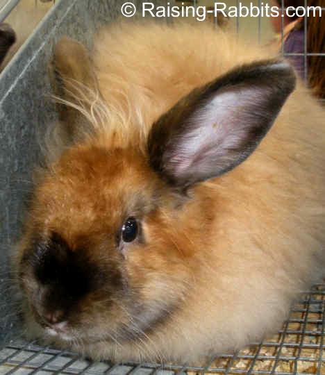 how to clean angora rabbit