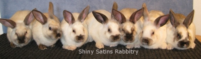 Siamese Satin rabbits from Shiny Satins Rabbitry