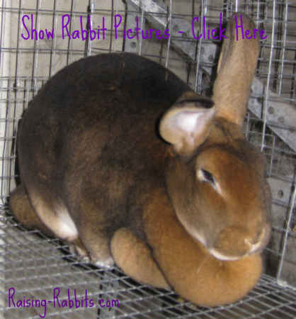Rabbit Pictures - this is a winning show rabbit at Aurora Rex Rabbit Ranch