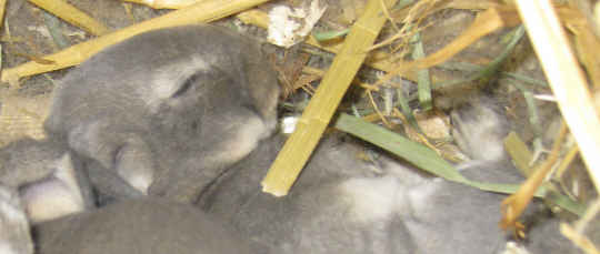 The rabbit litter for this opal Rex kit sleeping in its nestbox is pine shavings under a blend of straw and hay