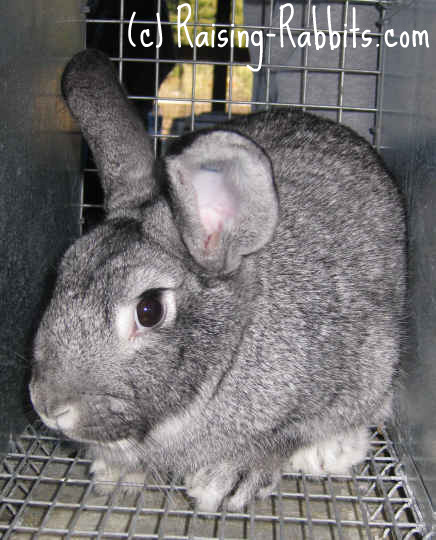 All rabbit breeds - Standard Chinchilla Rabbit
