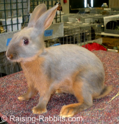 This Tan rabbit youngster has a fully arched body type