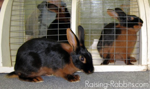 Well-conditioned and glossy Tan rabbits