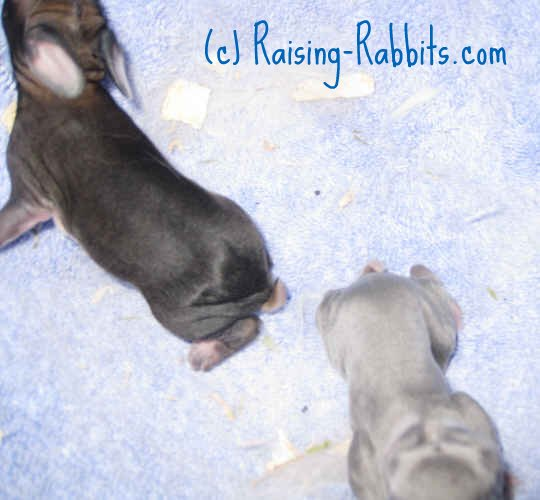 Rabbits Giving Birth - one kit is quite thin